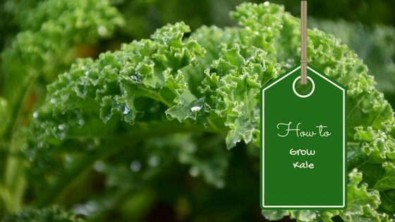 How to Grow Kale Easily
