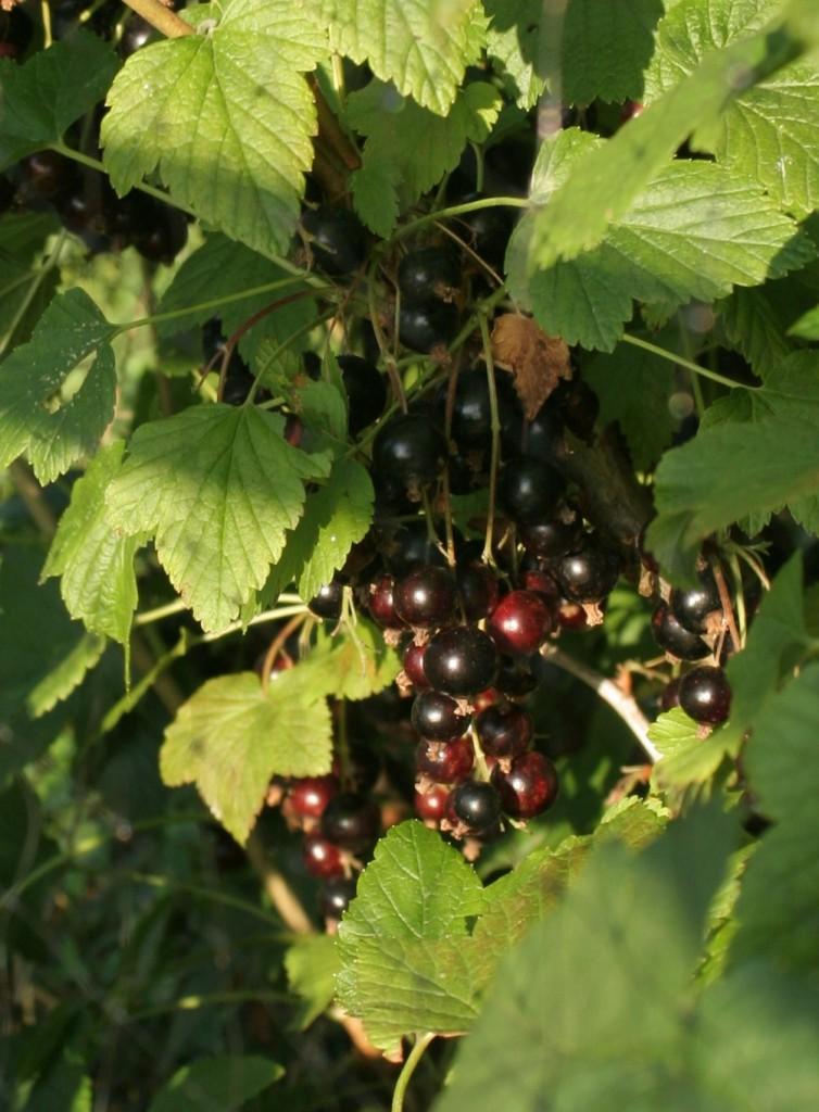 Blackcurrants photo