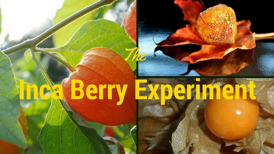 Inca Berry Experiment