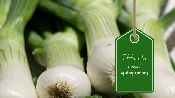 learn how to grow spring onions