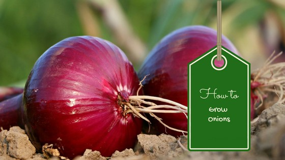 how to grow onions well