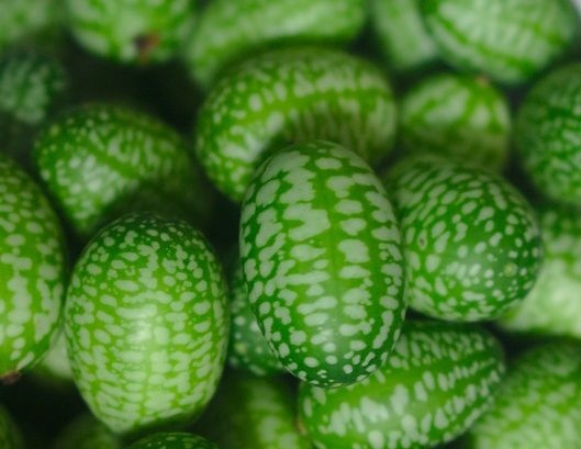 Cucamelons for seeds